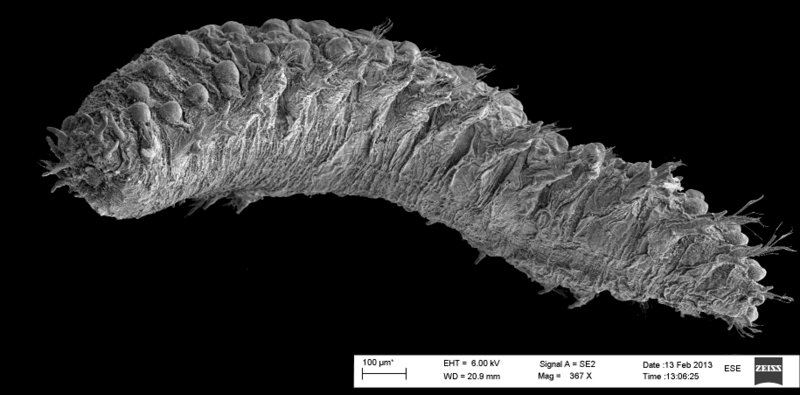 Scanning elektronmikroskopi (SEM) bilde av en Sphaerodoridae.