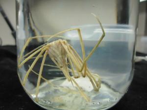 """""""Pilkrabbe"""" (Stenorhynchus lanceolatus) er en karakteristisk art i det vestafrikanske bunndyrmaterialet."""