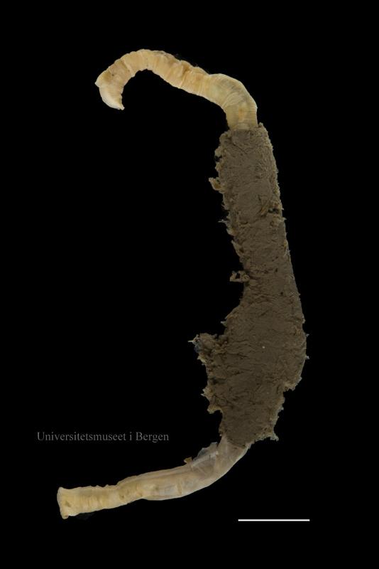 En polychaet i fra familien Maldanidae. Midt på dyret kan du se rester av tuben som det lever i. Skala = 0.5 cm