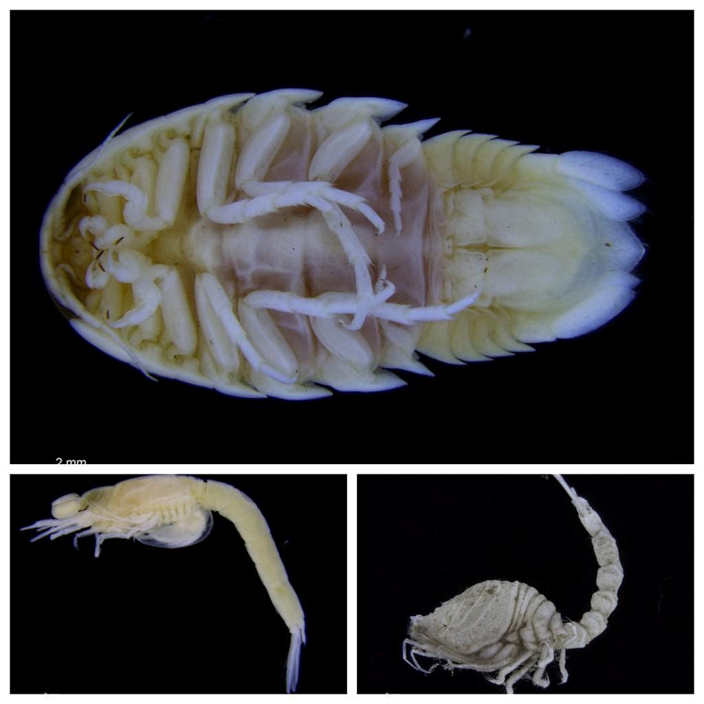 Samt et brett med Cumacea (t.h.), Mysida (t.v)(pungreker/rekebarn) og Isopoda (tanglus, øvre bilde)