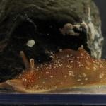 Aplysia punctata (sjøhare)