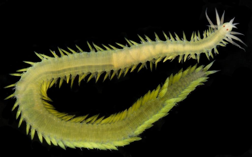 Eulalia viridis Foto: Arne Nygren. CC-BY-SA