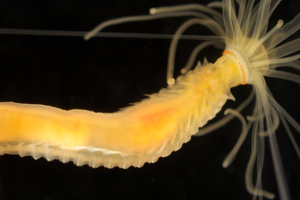 Eupolymnia nesidensis Foto: Arne Nygren (CC-BY-SA)