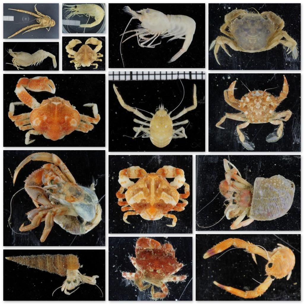 Det er stor variasjon i krepsdyrene i hjemlige farvann også - hvor mange av disse har du sett før?