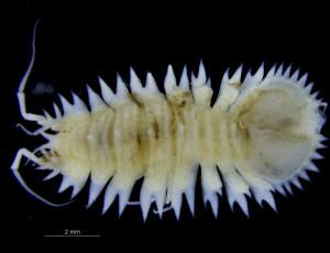 En av kandidatene våre; tanglusen Acanthaspidia typhlops