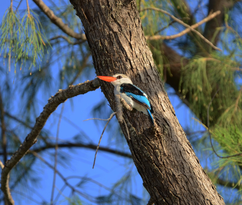 A-kingfisher-bird.-Vamizi