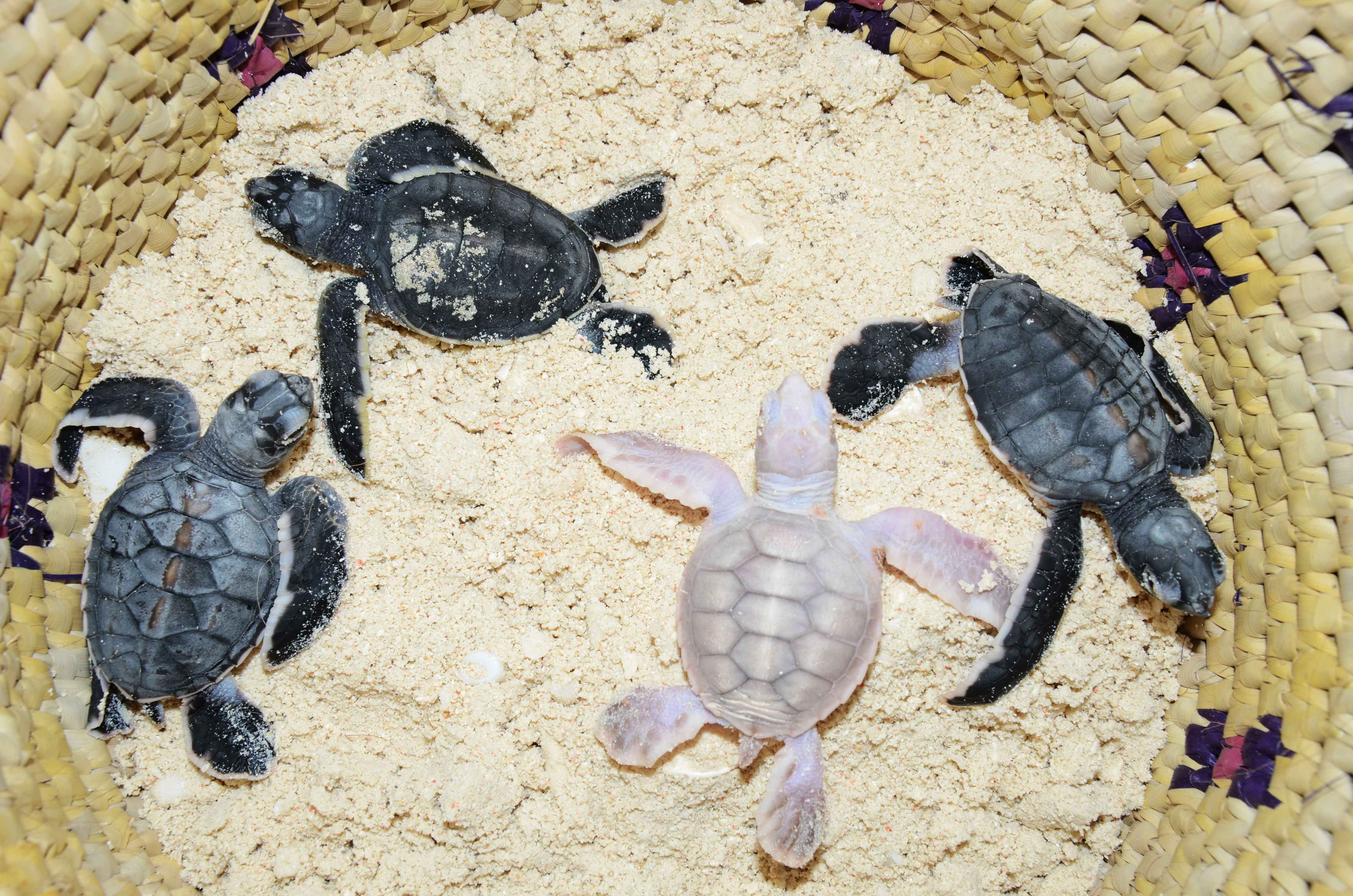 Baby-turtles-and-a-rare-case-of-albinism1