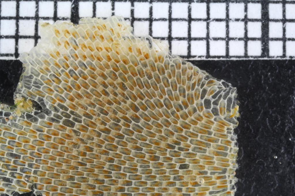 Mosdyrkoloni, Membranipora membranacea