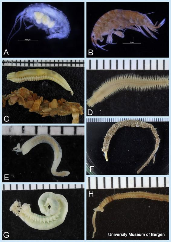 A: Cressa sp (Guinea) B: Idunella sp (Mauritania) C: Amphicteis (Morocco) D: Aglaophamus (Gabon) E: Pterolysippe bipennata (Senegal) F: Owenia sp (Western Sahara) G: Nicolea sp (Western Sahara) H: Magelona (sp 5) (Senegal)