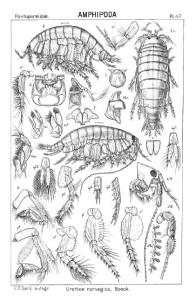 Tegninger av Urothoe elegans fra G.O. Sars, 1895