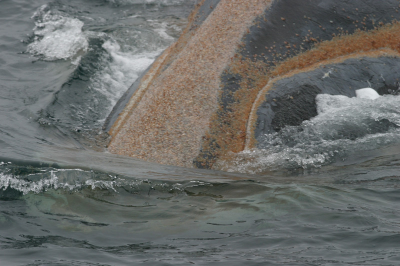 Cyamys_RightWhale_NOAA_liten