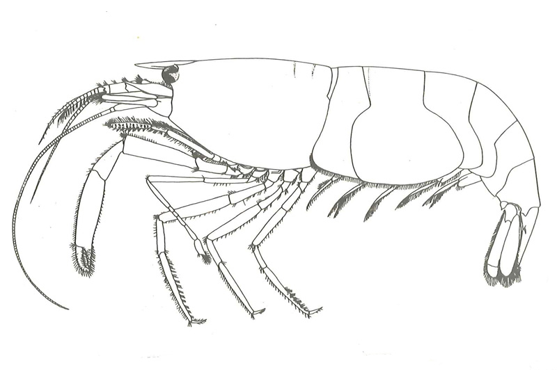 Athanas nitenscens. Tegning: fig 10 i ME Christensen: Crustacea Decapoda