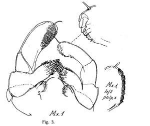 Munndel fra Hyperiopsis voringi. Tegning fra Stephensen 1934