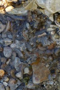 Sånn kan det se ut under steinen i fjæra! Foto: AHS Tandberg