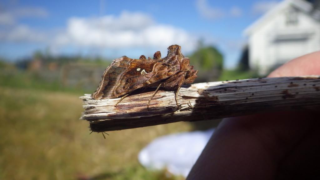 Fiolettbrunt metallfly (Autographa pulchrina) i fra lysfelle (foto: K.Kongshavn)