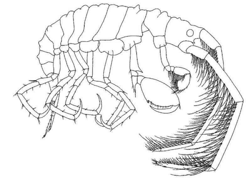 Laetmatophilus tuberculatus tegnet av Lincoln (1979).