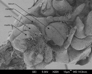 Munnen til Metopa glacialis. Foto: AHS Tandberg