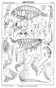 Paraphoxus oculatus tegnet av GO Sars i 1895.