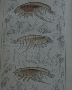 Noen av Harpinia artene GO Sars illustrerte i 1895
