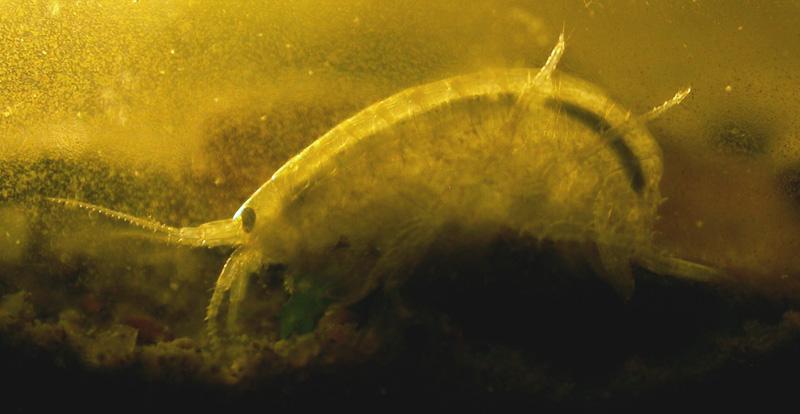 Gammarus lacustris. Foto: Jānis U. - LV wiki