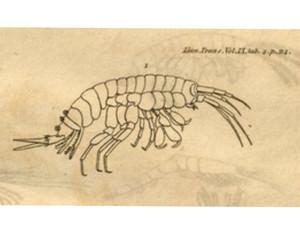 Talitrus saltator fra originalbeskrivelsen. Montagu, 1808.