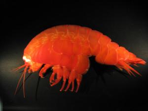 Eurythenes gryllus, fra Weddelhavet i Antarktis. Farge som levende. Foto: C. dUdekem dAcoz