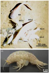 Stillbilde fra videofilming av åte og foto av Alicella gigantea. Figur 2 fra Jamieson et al, 2013.