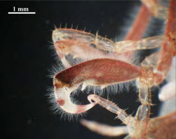 Caprella mutica. Gnathopoda (fremste bein) hos en hann. Foto: Anders Jelmert