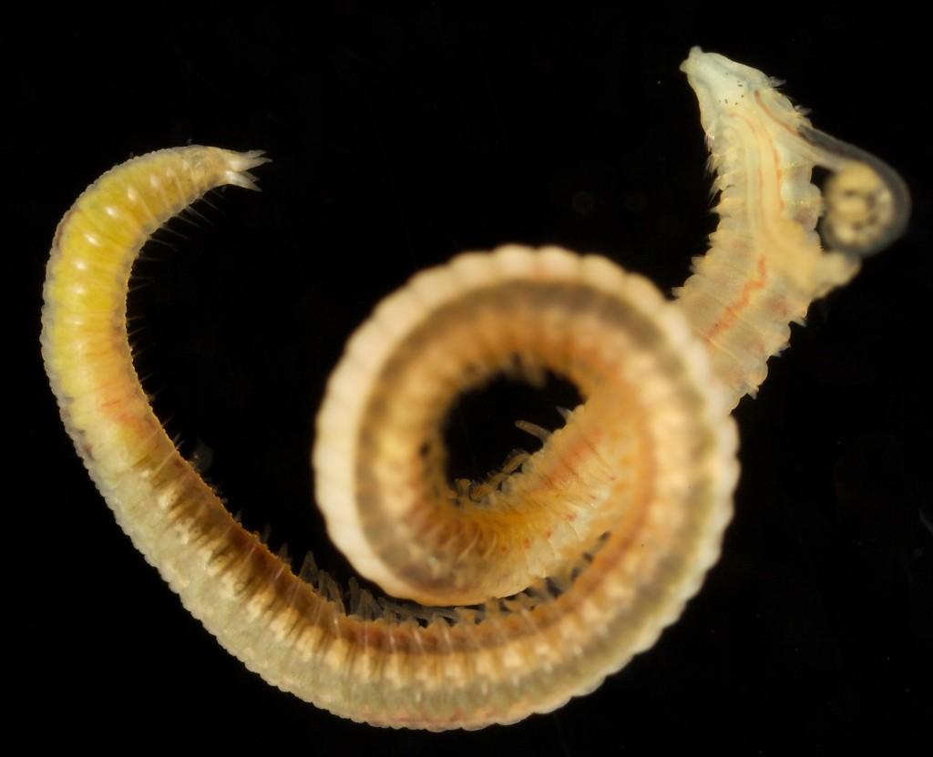 Pygospio elegans Foto: A. Nygren CC-BY-SA