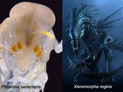 Sammenligning mellom Phromina sedentaria (foto: Pål Abrahamsen) og moderAlien (Foto fra film)