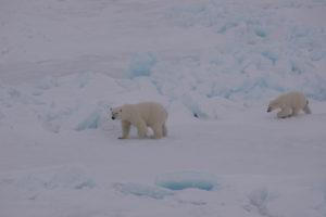En isbjørn-hunn med unge vandrer over snødekt is, Svalbard. Foto: AHS Tandberg