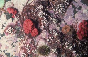 Gersemia rubiformis. Foto: Derek Keats, foto fra Newfoundland, Canada, CC BY 2.0