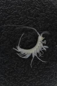 Eriopisa elongata, legg merke til den veldig lange 3 uropoden. Foto: K Kongshavn