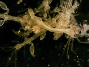En floke av Caprella equilibria. Foto: AHS Tandberg
