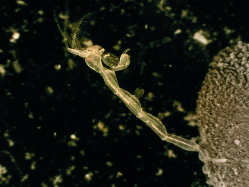 Caprella equilibria sittende på en liten tunicat. Fra Trondheimsleia. Foto: AHS Tandberg