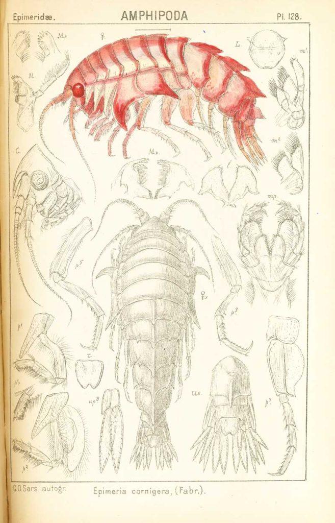 Epimeria cornigera tegnet og fargelagt av G.O.Sars, 1894