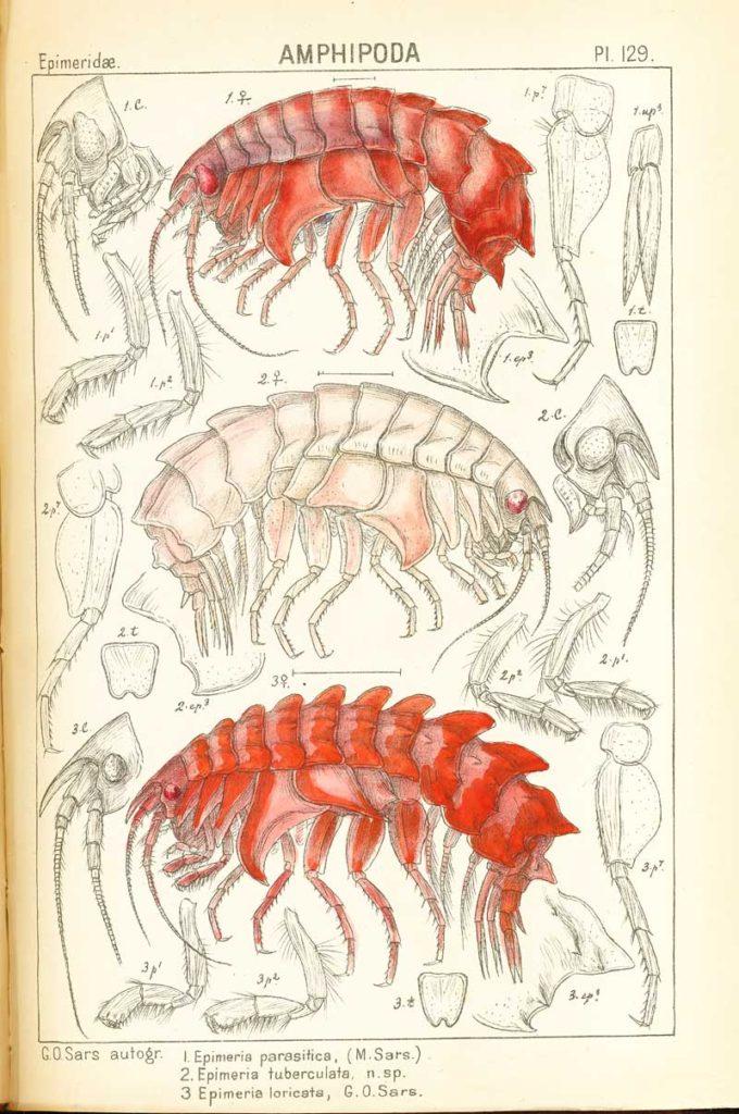 Epimeria parasitica, E. tuberculata og E loricata, tegnet og fargelagt av G.O.Sars, 1894