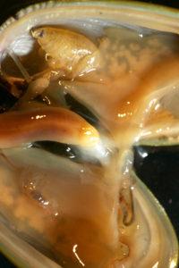 Anonyx affinis stikker ut av den øvre halvdelen og Metopa glacialis ligger i den nedre halvdelen av en Musculus discors. Foto: AHS Tandberg