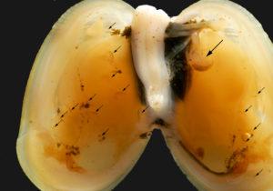 En familie Metopa glacialis inni et Musculus discors. Stor pil på moren, små piler til ungene. Muslingen er 31 mm lang. Foto: AHS Tandberg