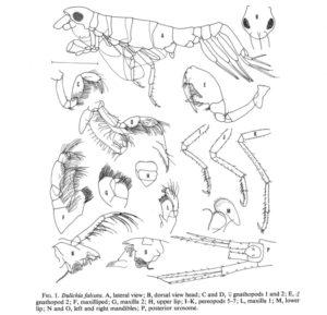 Dulichia falcata. Legg merke til forskjellen i 2 gåfot fra hunn (D) til hann (E). Figur nr 1 fra Laubitz, 1977.