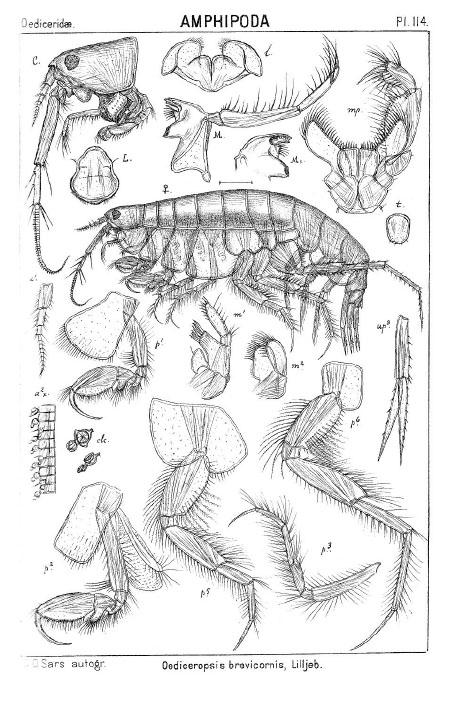 Plansje 114, Oediceropsis brevicornis, GO Sars 1895.