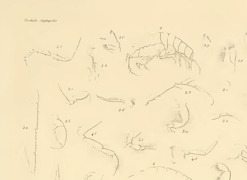 Illustrasjon av Oediceropsis brevicornis (alle med nummerering 2). Plansje XIII (fig 2) Boeck 1876