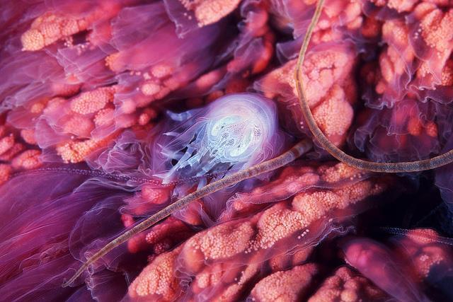 Hyperia galba gjemmer seg i en manet. Foto: Expedition Aqualis/ Alexander Semenov