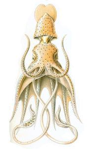 Histioteuthis bonelli illustrert av den berømte Ernst Haeckel.