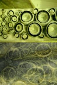 Det øverste bildet viser den sagtakkede kitinringen i sugekoppene på en kjempeblekksprut, Architeuthis. Under ser en arrene etter slike sugekopper på huden til en spermhval, som også ernærer seg på blekkspruter.