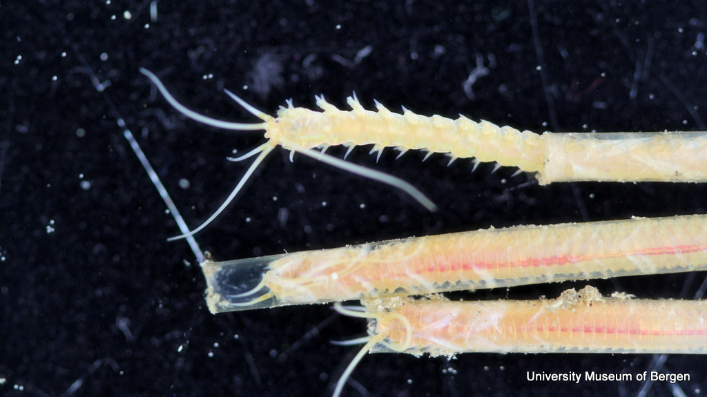 Vi har tatt mye ny video av denne gjengen (børstemark; Hyalinoecia)