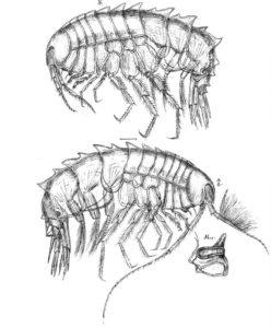 Syrrhoites serrata hunn øverst, hann under - med illustrasjon av mandibelen med den store molaren (tyggeflaten). Ill: G.O.Sars, Crustacea of Norway bind 1, plansje 137.
