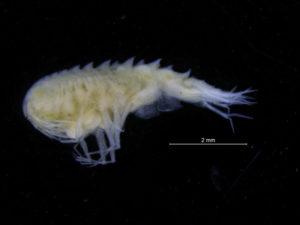 Syrrhoites serrata. Foto: AHS Tandberg