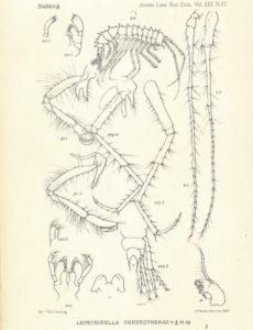 Lepechinella chrysotheras Stebbing, 1908. Denne illustrasjonen fulgte med den trykte utgaven av Stebbings foredrag fra 1907.