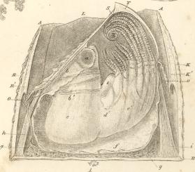 En av Darwin sine illustrasjoner av rur.
